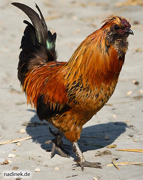 und wieder ein Huhn